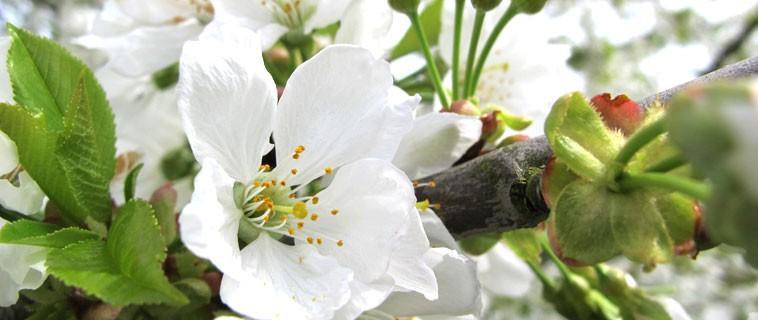 Le printemps, les fleurs de cerisier et l'eau de l'Occitane