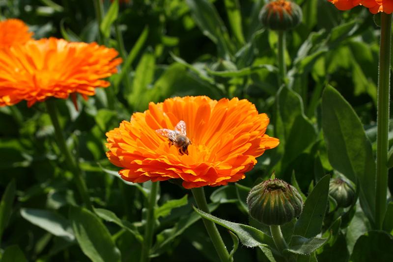 sur une fleur de calendula les abeilles veillent à la pollinisation