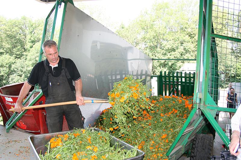 après la récolte des fleurs de calendula, celles-ci sont immédiatement traitées pour travailler sur une matière première la plus fraiche possible, pour les produits...