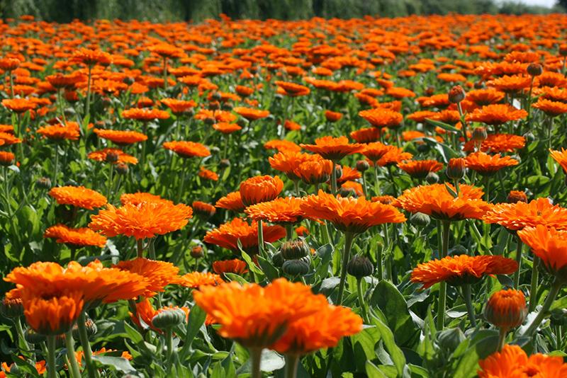 champ de calendula chez Weleda