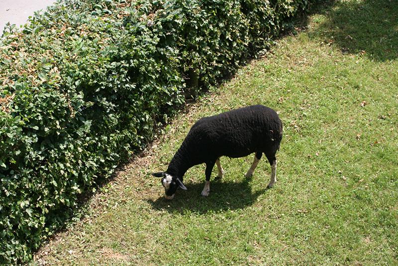 Et oui, il y a même des moutons sur le site... désherbage naturel !