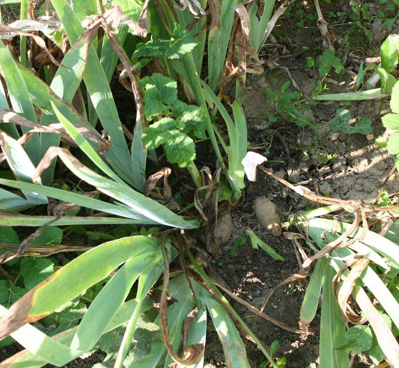 vous devinez de quoi il s'agit? Des racines d'iris, celles-là même qui sont utilisées pour la gamme du même nom chez Weleda !