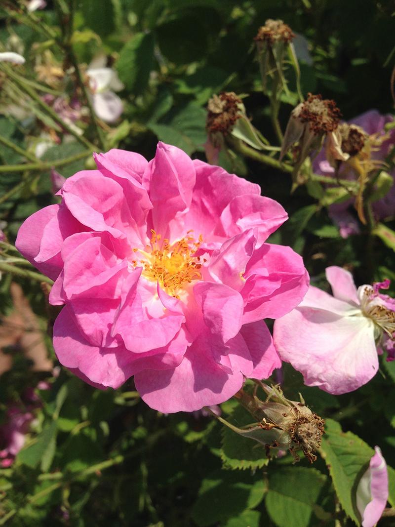 La rose de Damas (rose damascena) qui entre dans la composition de certains produits Weleda... elle n'est pas produite sur place (à cause du climat) mais en Turquie où un producteur travaille exclusivement pour la marque Weleda.
