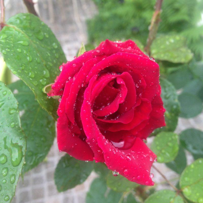rose après l'orage