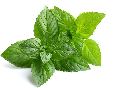 mentha piperit