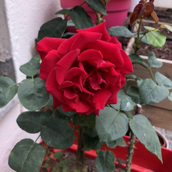 """un rosier de mon jardin, qui vient de chez mon père (et qui a - fort heureusement - résisté à la canicule (il est en pot, d'où mon inquiétude, en terre, ça serait moins """"risqué"""")"""